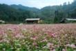 Giấc mơ về ngôi nhà tránh rét phía sau sắc hoa tam giác mạch Hà Giang