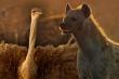 Clip: Đà điểu đại chiến bầy linh cẩu để bảo vệ con