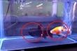 Clip: Đang bơi tung tăng trong bể, cá vàng bị cá đen ngoạm đầu nuốt chửng