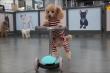 Video: Gặp chú chó poodle tự đi xe tay ga nổi tiếng trên mạng xã hội