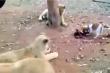 Chó con tham ăn dọa sư tử sợ hết hồn