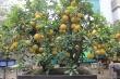 Ảnh: Ngắm bưởi Diễn bonsai hơn 100 quả, giá hàng chục triệu đồng