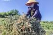 Ảnh: Nông dân Hà Tĩnh phơi mình dưới nắng nóng khốc liệt thu hoạch dược thảo