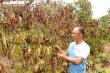 Nắng hạn kéo dài, nông dân Gia Lai cắn răng chặt bỏ hàng nghìn ha cây trồng