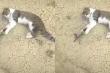 Chim sẻ giả chết để đánh lừa mèo
