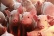 Video: Giá lợn hơi tiếp tục tăng, lập kỷ lục mới