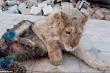 Sư tử con khó nhọc tập đi sau khi bị bẻ gãy chân cho du khách chụp ảnh