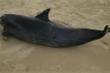 Phát hiện xác cá heo 60kg dạt vào bờ biển Quảng Ngãi