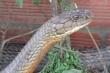 Thợ săn đối mặt rắn khổng lồ và những chuyện kinh dị về loài bò sát bí ẩn ở núi Cấm