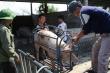 Giá lợn hơi lao dốc mạnh, người chăn nuôi chịu lỗ hàng triệu đồng/con