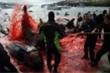 Truyền thống săn cá voi 'đẫm máu' ở Đan Mạch