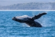 Bị đàn cá voi sát thủ truy bắt suốt 4 giờ, cá voi lưng gù sống sót ngoạn mục