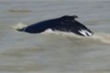 Đàn cá voi đi lạc vào sông toàn cá sấu hung hãn