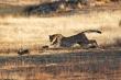 Cuộc chạy trốn kinh hoàng của thỏ rừng trước báo đốm