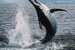 Ngư dân bị cá kiếm đâm xuyên người