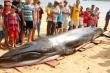 Cá voi xanh 2 tấn dạt vào bờ với nhiều vết thương