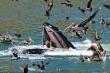 Ảnh ấn tượng: Cá voi xanh khổng lồ đớp bồ nông