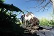 Nông dân Mỹ huấn luyện chó 'săn lùng' loại nấm đắt giá nhất thế giới