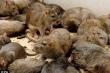 Tránh dịch hạch bằng cách diệt chuột đơn giản, hiệu quả