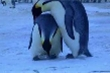 Rớt nước mắt clip chim cánh cụt mẹ thẫn thờ ôm xác con
