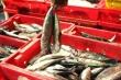 Kỷ lục chuyến đánh bắt cá ngừ lãi trên 100 triệu đồng