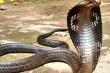 Ở nơi cả làng nuôi rắn hổ mang cực độc