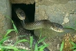 Kinh hoàng chuyện tự chặt tay ở làng nuôi rắn chúa