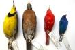 Biến đổi khí hậu, các loài chim nhỏ dần và có nguy cơ tuyệt chủng vào năm 2100