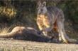 Kangaroo đau khổ vuốt ve bạn đời bị ô tô cán chết