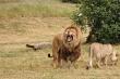 Đột nhập khu bảo tồn trộm tê giác, những kẻ đi săn bị sư tử tấn công và ăn thịt