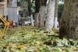 Hàng cây sưa rụng lá bất thường ở Hà Nội, nghi bị kẻ xấu đầu độc