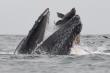 Nằm gọn trong miệng cá voi, sư tử biển vẫn thoát chết thần kỳ