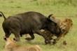 Trâu rừng liều mạng tấn công đàn sư tử