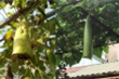 Bí kíp cắt bầu chừa lại nửa quả trên cây để nuôi tiếp và cái kết không ngờ tới