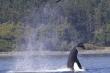 Cá voi sát thủ hất văng hải cẩu lên 15m trước khi làm thịt