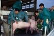 Việt Nam bắt đầu nhập khẩu, giá lợn sống tại Thái Lan tăng mạnh