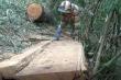 Chênh lệch số liệu vụ khai thác gỗ lậu rừng đặc dụng Nam Kar: Sở NN&PTNN Đắk Lắk lý giải