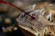 Độc chiêu bắn máu từ mắt hạ kẻ thù của thằn lằn gai