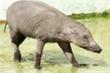 Cặp lợn 'xấu xí nhất thế giới' đến London để nhân giống
