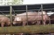 Thịt lợn nhập ồ ạt về Việt Nam, giá thịt 'nội' vẫn 'nóng'