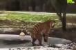 Hổ giật bắn mình khi trượt chân trên hố băng