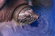 Tìm thấy hậu duệ của rùa Hoàn Kiếm ở hồ Đồng Mô