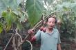 Cà chua thân gỗ trước bán 1 triệu đồng/kg, nay ế không ai mua