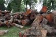 Hà Nội: Chặt hạ hàng loạt cây xà cừ cổ thụ trong Công viên Thống Nhất