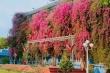 Ảnh: Đại học Thủ Dầu Một đẹp lung linh trong sắc màu hoa giấy