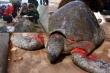 Đưa Vích biển quý hiếm bị thương về Vườn quốc gia Xuân Thủy chữa trị