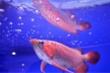 Giá chục ngàn đô, loài cá cảnh đắt nhất thế giới có gì đặc biệt?