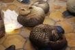 Giấu 30 con tê tê còn sống dưới khoang bí mật xe khách chuyển từ Lào về Việt Nam