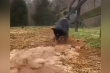 Video: Giỏi bới đất, tạo đường thoát nước, chú chó nổi tiếng trên Internet