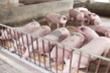 Chính phủ sẽ họp tìm giải pháp hỗ trợ người chăn nuôi lợn